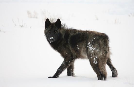 wolf-1364255_960_720